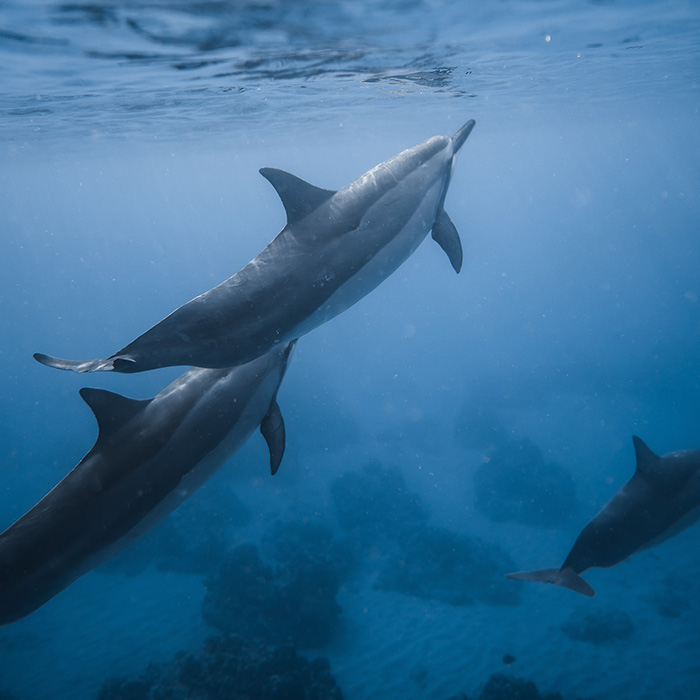 blue-dolphin-1