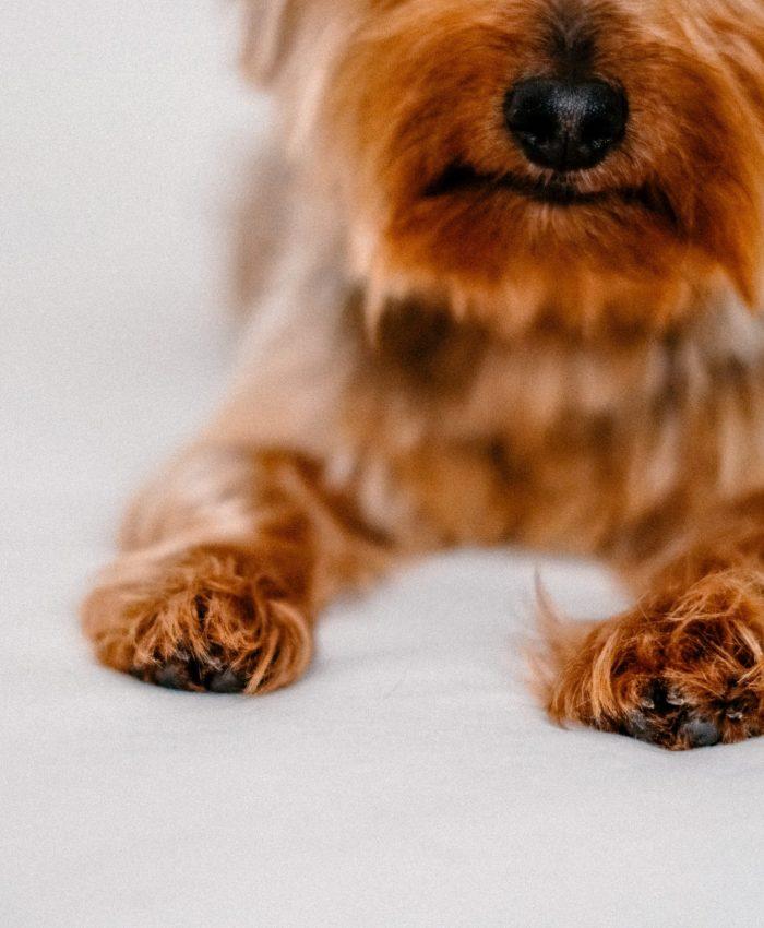 Fluffy Caramel  Dog