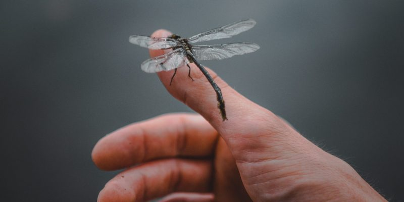 Little Dragonfly