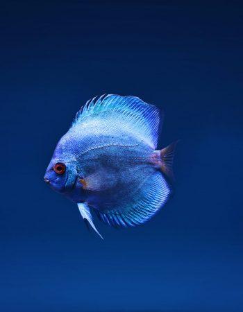 Blue Ocean Fish