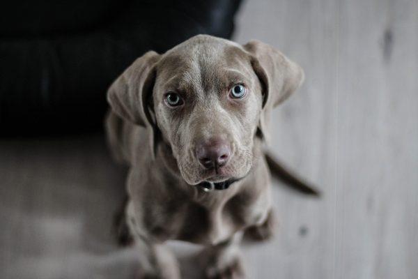 Gray Little Puppy